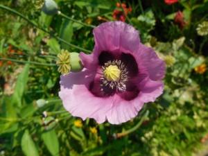 Une fleur violette