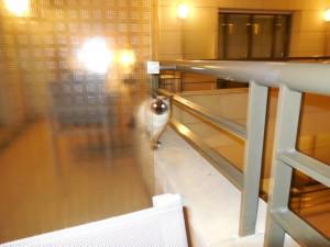 Siamese cat on my balcony