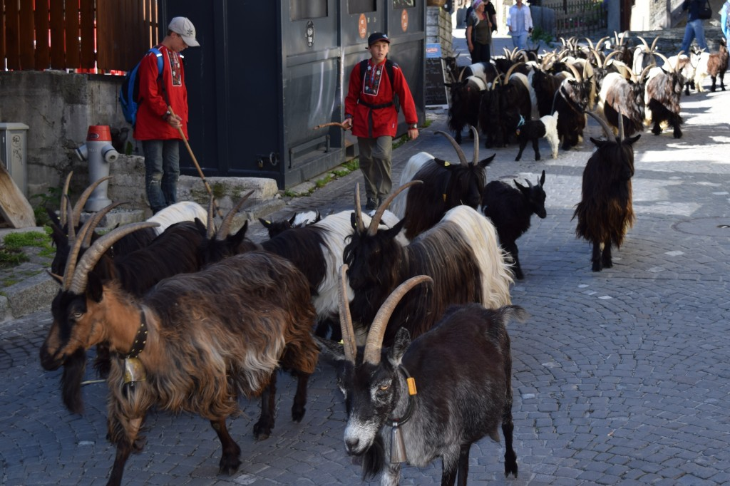 Mountain goat herders make the trek twice a day, up and down the city streets